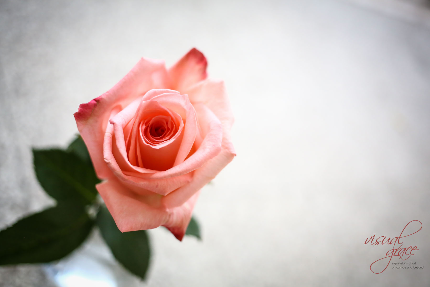 Rose-2a